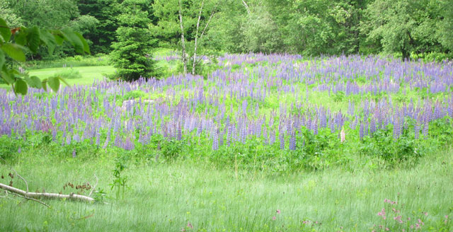 Back Road Lupines