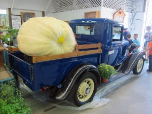577 Pound Pumpkin/Squash Cross traveling in a 1931 Chevy pickup truck.