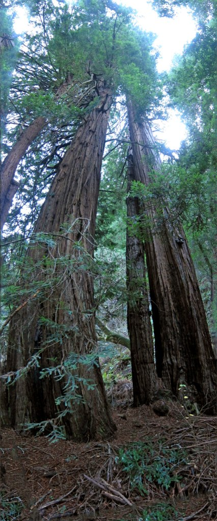 redwoods-are-tall